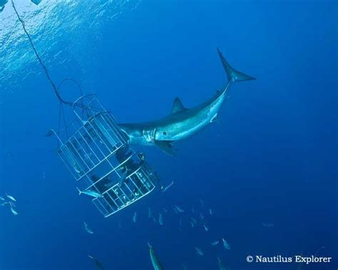 dive shark great white shark cage diving isla de guadalupe mexico