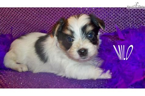 tri color yorkie pictures meet milo a terrier yorkie puppy for sale for 800 tri color parti