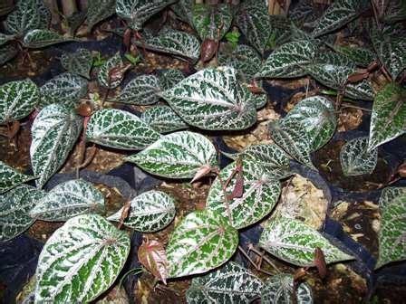 tanaman obat obat batuk herbal praktis