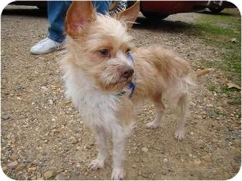 wire haired yorkie found wire haired terrier adopted haughton la yorkie terrier mix