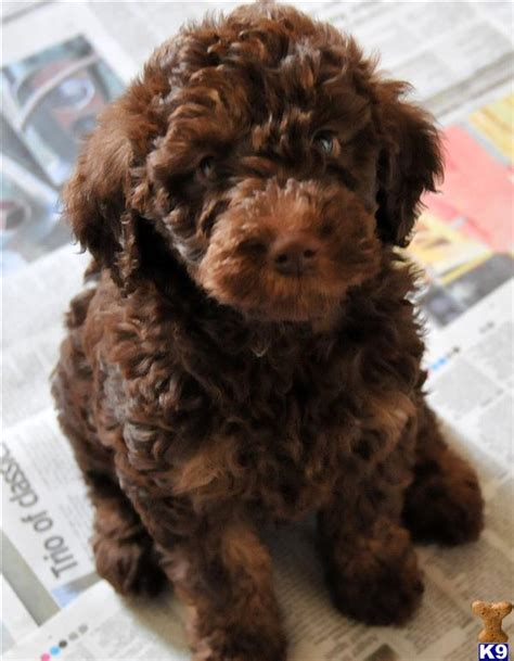 mini labradoodles sale miniature labradoodles 36971