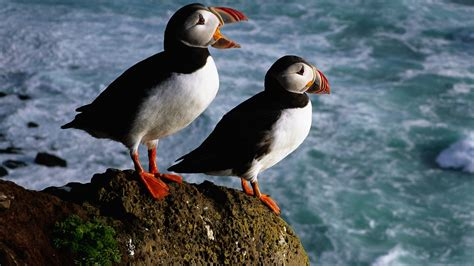 download birds puffin wallpaper 1920x1080 wallpoper 258706