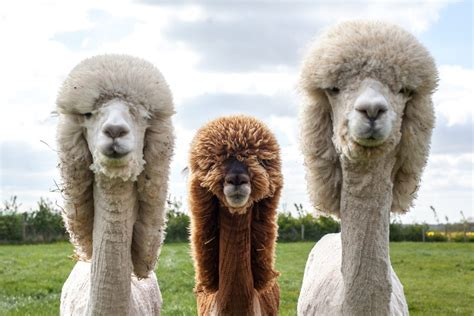 when your llama needs a haircut books alpaca owner gives them some haircuts because why not