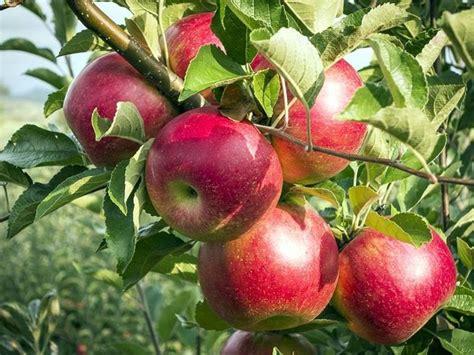 piante da frutto in giardino coltivazione alberi da frutto piante in giardino come