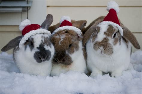 images of christmas rabbits christmas fuzzy today
