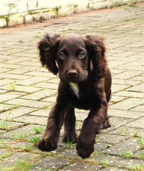 boykin spaniel puppies boykin spaniel puppy our home