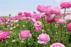 Carlsbad Flower - gallery for gt pink flower field