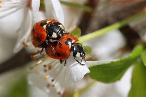 asian beetles vs ladybugs a close family resemblance pestwiki