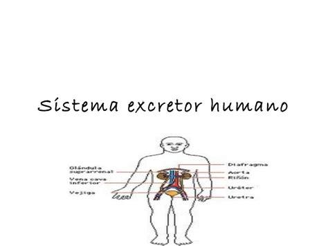 sistema excretor sistema excretor humano