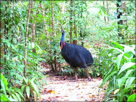 southern cassowary a giant rare bird of the ancient