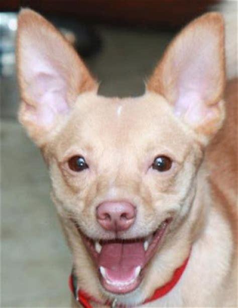 dachshund pomeranian chihuahua mix half chihuahua half dachshund breeds picture