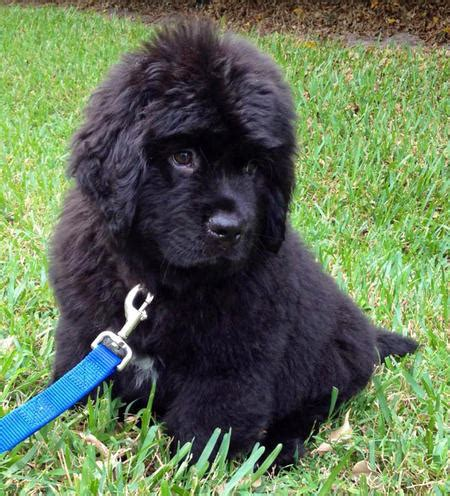 newfoundland puppies for sale ny newfoundland puppies for sale in new york breeder horner newfoundlands