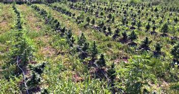 growing autoflowering cannabis blog