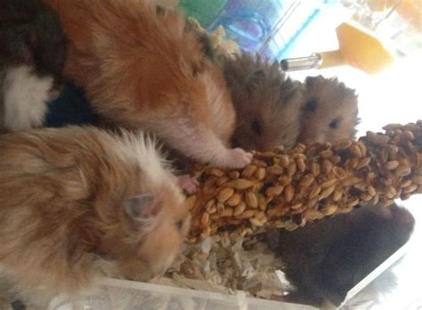hamster syrian hamsters baby babies long hair big size