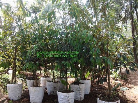 Bibit Durian Musang King Cirebon durian musang king bibit durian montong bibit durian