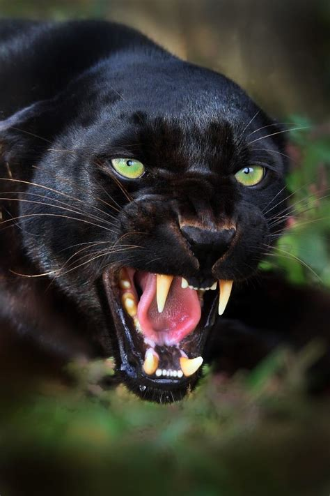 all black jaguar black panther all creatures great and small pinterest