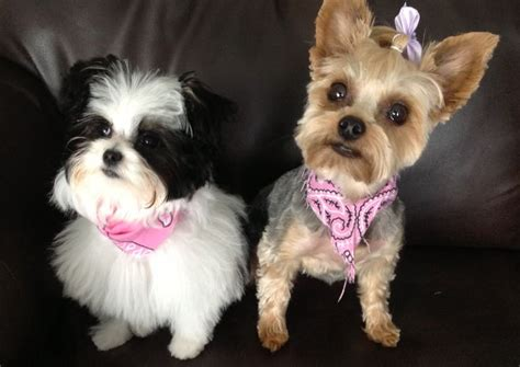 yorkie papillon papitese maltese papillon mix and yorkie now puppies