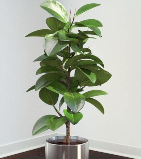 tanaman beringin karet rubber fig bibitbungacom