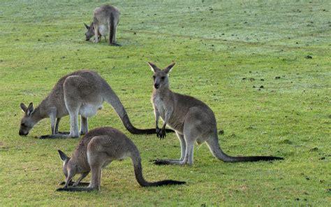 kangaroo pictures wallpapers 52 wallpapers hd wallpapers