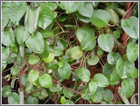 manfaat  khasiat daun binahong bagi kesehatan khasiat
