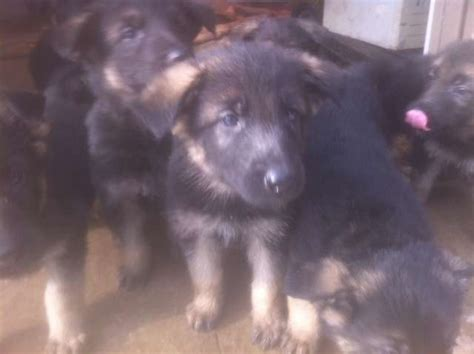 purebred german shepherd puppies for adoption selling purebred german shepherd puppies for sale adoption from ontario hamilton