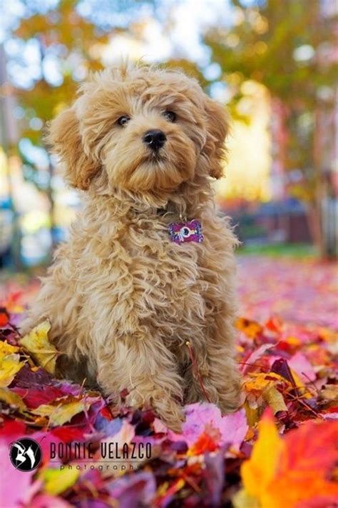 puppies for sale in ventura county 25 great ideas about goldendoodle on