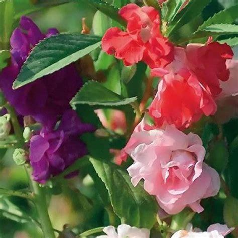 balsam camellia mix friends school plant sale