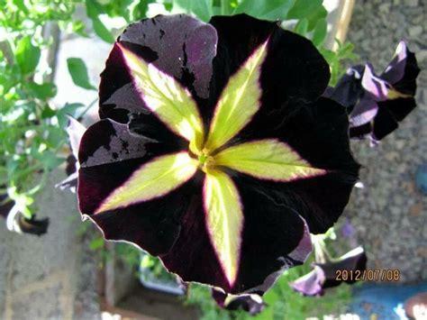 black petunia black garden pinterest
