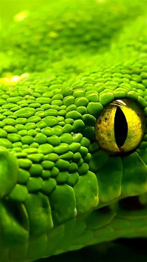 wallpaper snake green reptile eyes animals