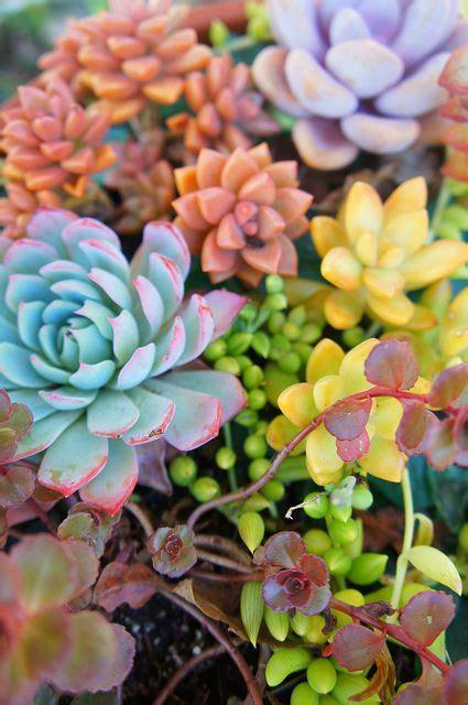 colorful plants colorful succulents garden ideas