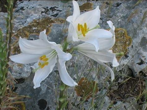 fiore giglio bianco giglio bianco verdeostuni