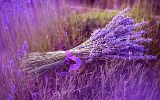 lavender plant care guide auntie dogma s garden spot