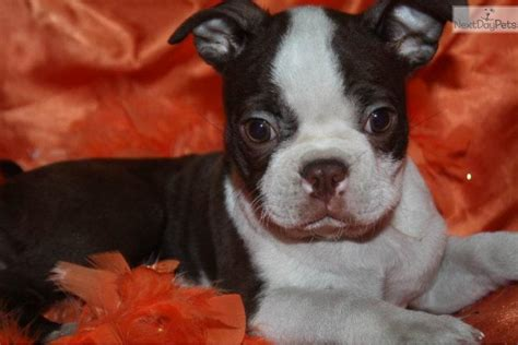 brown boston terrier puppies for sale boston terrier for sale dogs puppies for sale with free breeds picture