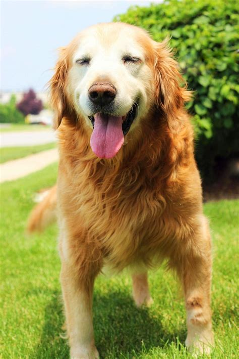 golden retrievers for adoption golden retriever rescue resource senior golden retriever adoptions