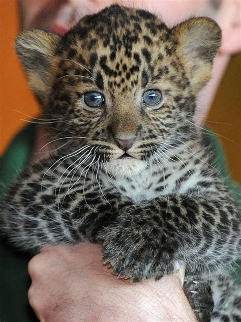 what do you call a baby jaguar spot the differences between leopards jaguars and