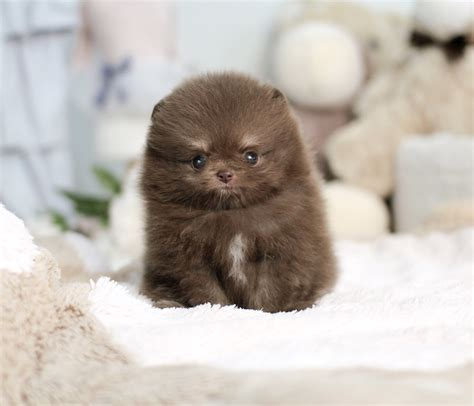 tiny micro teacup pomeranian sale micro mini pomeranian www pixshark images galleries with a bite