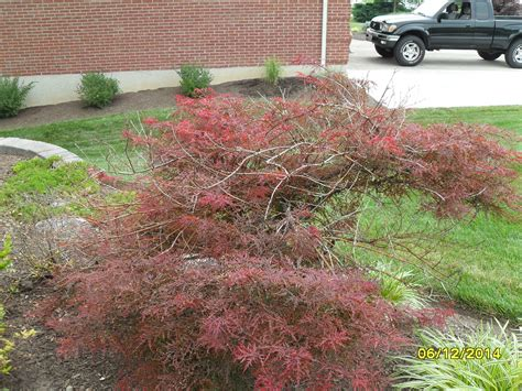 maple tree dead branches japanese maple dead branches ask an expert