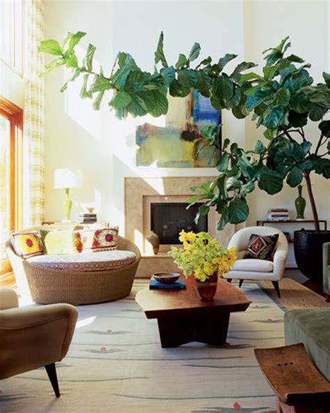 california decor for a song the fiddle leaf fig ficus pandurata