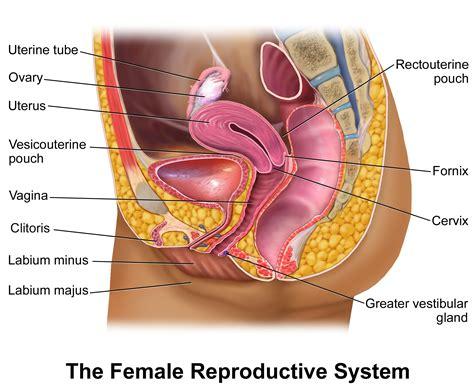 reproductive organ diagram hd labeled diagram of radius anatomy list