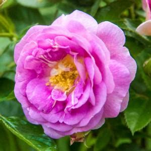 spring hill nurseries arctic blue floribunda rose