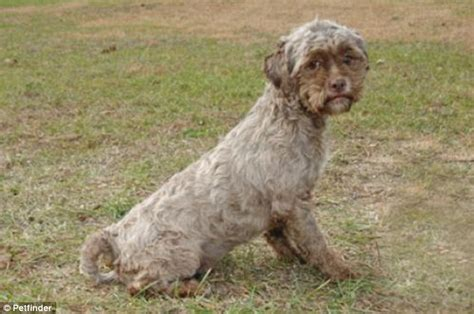 how do you ship a puppy with human up for adoption meet tonik the shih tzu poodle with an eerily
