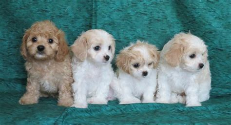 fancy puppy store cavachon puppies for sale the fancy puppy