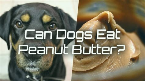 can i give my peanut butter can dogs eat peanut butter pet consider
