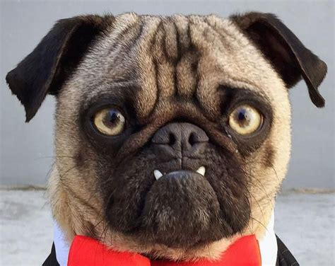 looking after a pug 17 best images about mug pug on pets the o jays and pug
