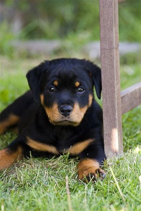 puppy rottweiler tips rottweiler puppy c u t i e p i e s
