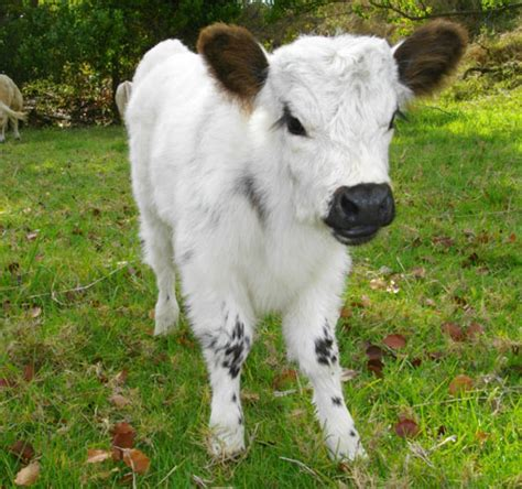 backyard miniature herefords favorite animal is cow mini cow will it fit in my