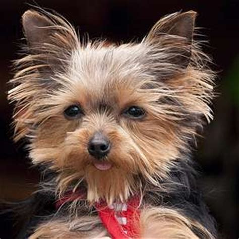 smallest yorkie on record world s smallest working a yorkie sets guinness world record motley dogs