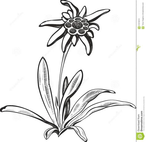 black silhouette outline edelweiss leontopodium flower
