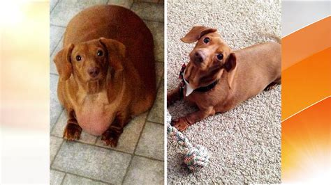 dachshund on a diet obese ohio pup loses 80 percent of