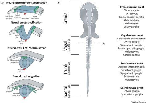 pattern formation in the vertebrate neural tube regulatory logic underlying diversification of the neural